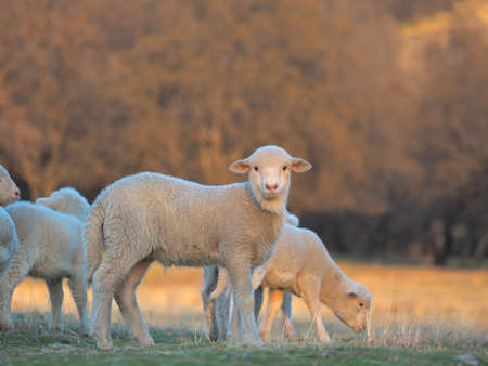 Young Lamb being curious on farm, sunset light 免版税图像 - 146399142