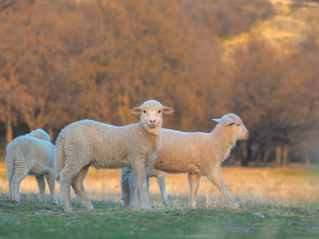 Young Lamb being curious on farm, sunset light