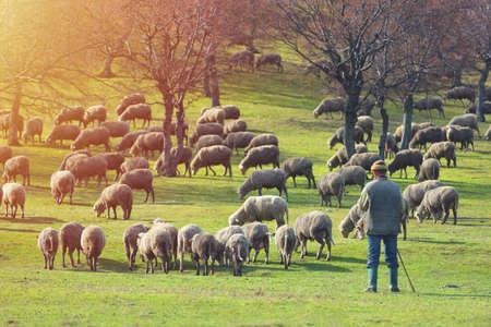 Flock of sheep on fresh spring green meadow during sunrise 版權商用圖片