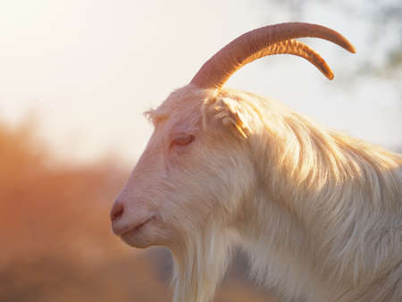 Brown and white billy goat with long fur and horns Imagens
