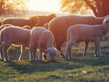 Flock of sheep on fresh spring green meadow during sunrise Imagens