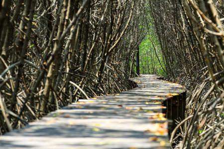 boardwalk trail: Wood trail in mangrove forest