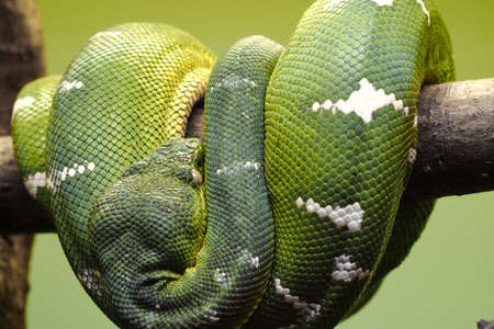Huge green-scale snake, Emerald tree boa, curling around a wooden stick with visible head part on green background. Imagens