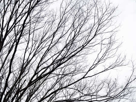 Leafless branches and twigs of sakura tree on whiteout sky. Banco de Imagens - 123159088