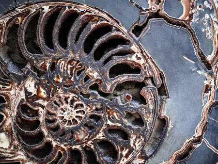 Half cut of fossilized Ammonite shell showing its chambers and smooth cut surface.