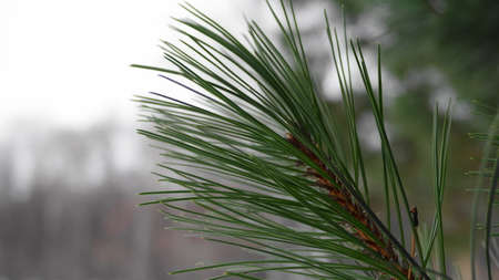 tine: pine needles macro