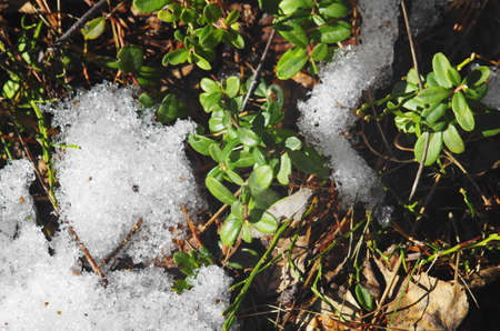 natual: Spring, green leaves lingonberry in melting snow