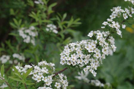folwer: flowering shrub of  spirea gray