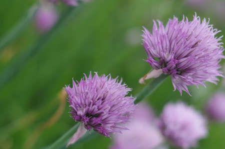 florescence: purple flowers of onion Stock Photo