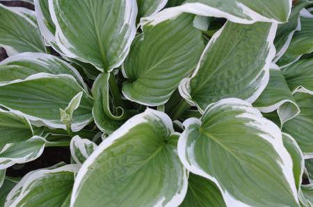 hosta: plant hosta close up Stock Photo