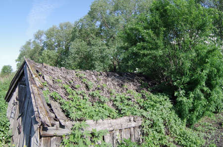 infirm: Old dilapidated wooden building overgrown with hops