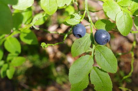 lobe: blueberries branch