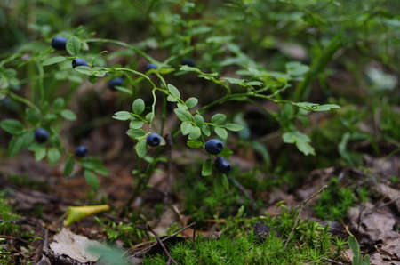 tine: blueberries branch