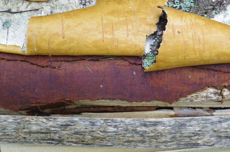 scrool: Close up of barrel birch bark scrolls
