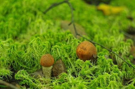 boletus mushroom: Orange-cap boletus mushroom in the forest