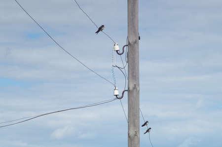 tragos: golondrinas jóvenes sentados en cables