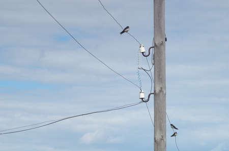 golondrinas: golondrinas jóvenes sentados en cables