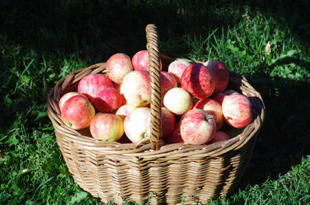 cuntry: basket of red apples in the garden, autumn