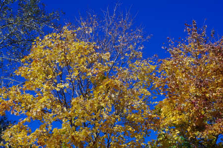 is cloudless: yellow maple leaves on the background of a cloudless blue sky