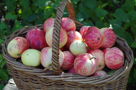 basket of red apples in the garden, autumn