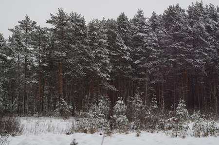 turism: winter pine forest under snow