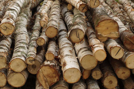 The trunks of the birch trees felled for firewood