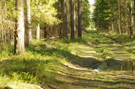 Lain in summer pine forest. Road in the forest.
