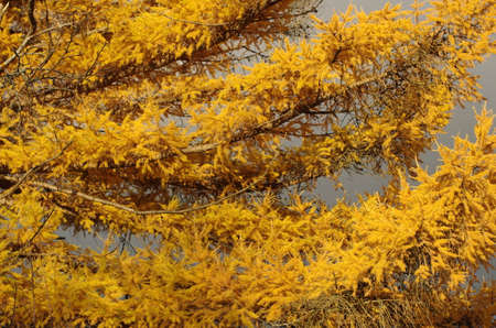 larch with yellow needles with grey background