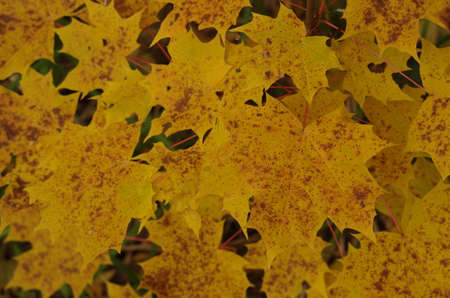 Yellow maple leaves close-up Stock Photo