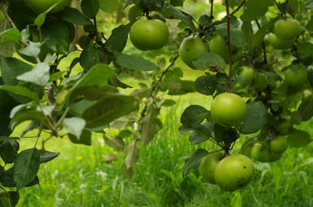 Green apples on the tree. Close up.