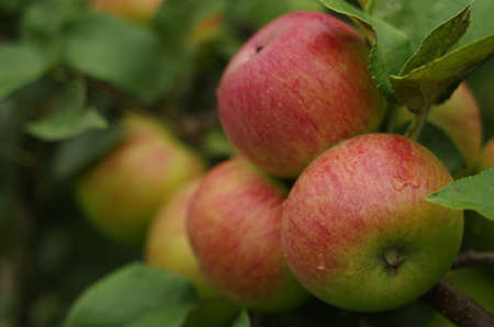 Close-up of ripe apples on a tree in summer. Stock Photo