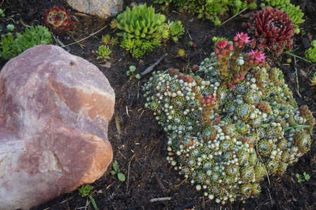 Stones and plants in the garden. Close-up of houseleek.