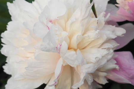 White peony flower in the garden close-up.
