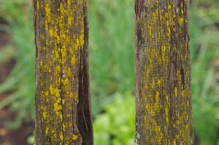 Boards of an old fence with mold. Close-up, yellow mold.