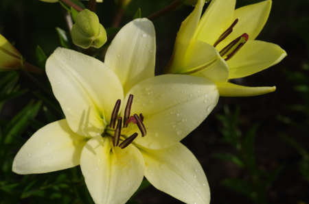live yellow lily close-up in the garden