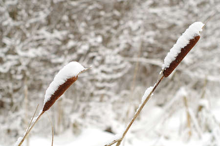 Reeds capped by snow Stock Photo
