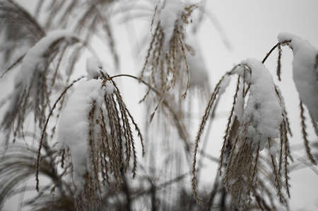 Dry miscanthus grass with  the snowcaps close up.