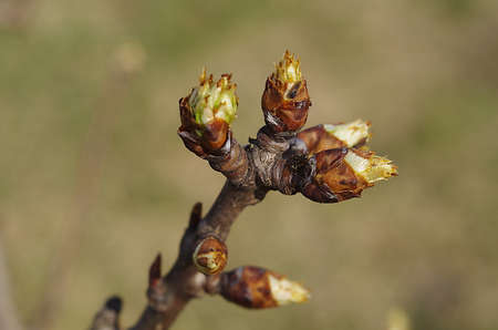 Authentic currant branch with blossoming buds close up