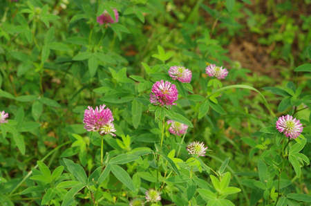 close up of clover red flowers and leaves
