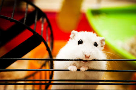 cute hamster: white dwarf hamster biting cage