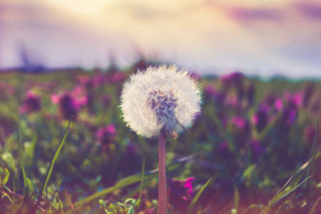 blowball: macro photo of blowball flower against sky at sunset retro colors