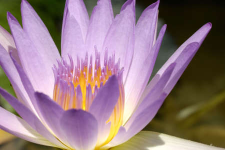 close up of purple in color water lily Imagens