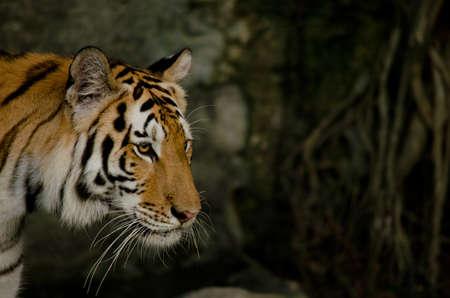 felid: panthera tigris corbetti Stock Photo