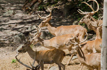 brow-antlered deer live in the zoo photo