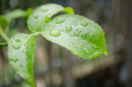 water drop on the green leaf after rain season photo