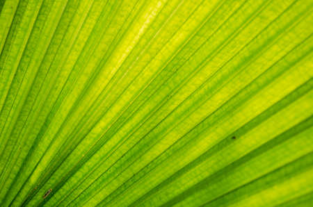the Texture background of green plam leaf photo