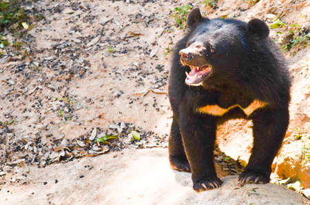 omnivore: Black Bear is dangerous species in forest ,thailand and it live everwherer in forest , v-shape