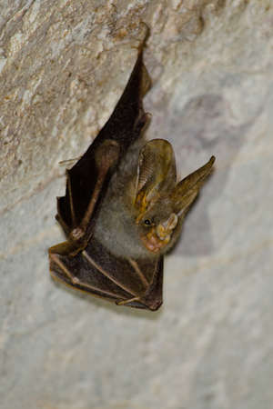 pteropus: Bats are sleeping in the cave hanging on the ceiling period midday