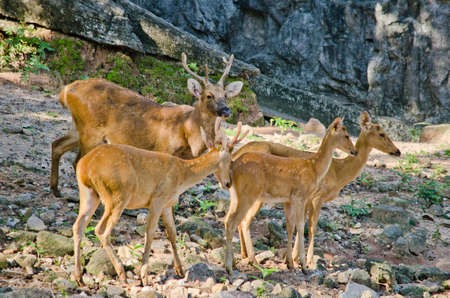 asia deer: Elds deer (Panolia eldii) also known as the thamin or brow-antlered deer, is an endangered species of deer indigenous to Southeast Asia Stock Photo