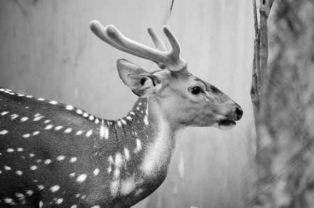 axis: Chital o ciervos cheetal (Axis axis), tambi�n conocido como venados o ciervos manchados de eje en el bosque